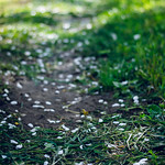 Path strewn with petals.. thumbnail