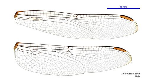 Lathrecista asiatica male wings