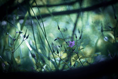 Small Universe (ursulamller900) Tags: geraniumrobertianum trioplan2950 bokeh green purple mygarden mysterious nature