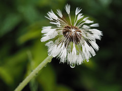 wet dandelion after the rain (Ciddi Biri) Tags: afterrain blurrybackground dandelion drops echology ecosystems isolateddandelion nature plant rain rainyweather spring summer water wet photosynthesis m43turkiye omdem10 olympus60mmf28 karahindiba