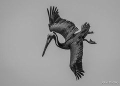 Pelican dive in B&W at Myrtle Beach SC (flintframer) Tags: pelican flight dive wildlife nature black white bw wow dattilo myrtle beach south carolina canon ef100400mm 14x eos 7d markii