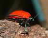 Flame red Jewel Bug Scutelleridae Airlie Beach P1010648 (Steve & Alison1) Tags: flame red jewel bug scutelleridae airlie beach