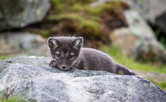 Søtnos (CecilieSonstebyPhotography) Tags: arctic cutie portrait fox endangered closeup alopexlagopus sweet claws baby canon nose 6weeksold animal norway paw markiii whitefox fur ears polarfox eyes canon5dmarkiii snowfox adorable bokeh rock foxcub cub langedrag specanimal ngc coth5