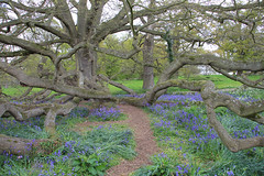 Blickling Hall gardens (jpotto) Tags: uk norfolk nationaltrust flowers woods flora bluebells bluebellwood