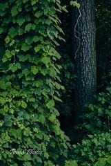 Kudzu cascade (Tom Slate) Tags: kudzu vine green plant virginia invasivespecies nature forest invasiveplant