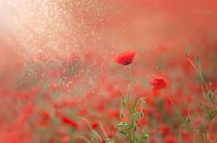 Poppy glitter* (daydreamer110) Tags: poppy poppyfield red summer glitter poppies
