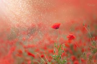 Poppy glitter*