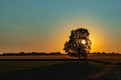Tree (Notkalvin) Tags: tree notkalvin mikekline sunset field ontario farm notkalvinphotography bright intothesun open outdoor evening lonetree loneitem oneitem