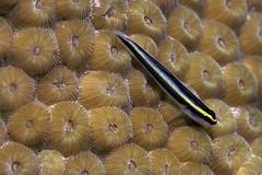 Goby_Bari Reef_Bonaire_June 2017 (R13X) Tags: bonaire underwaterphotography underwatermacrophotography scubadiving diving denlaman dutchcaribbean dutchislands shorediving nikon nikon105mm nikon60mm d7200 goby barireef somethingspecial saltpier torisreef