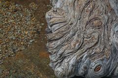Tahoe tree art (jimmy_racoon) Tags: 1785mm is lake tahoe canonxsi nature tree trunk 1785mmis laketahoe