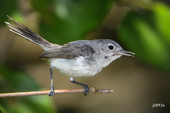 Blue-gray Gnatcatcher (jt893x) Tags: 150600mm bird bluegraygnatcatcher d500 gnatcatcher jt893x nikon nikond500 polioptilacaerulea sigma sigma150600mmf563dgoshsms songbird