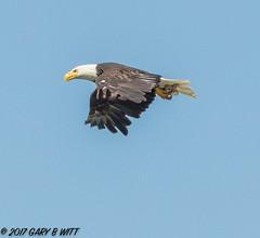 Bald Eagle (orencobirder) Tags: birds flickrexport flight eagles largebirds