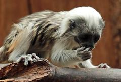 cottontop marmoset artis JN6A3119 (joankok) Tags: pincheeaapje aap klauwaapje zuidamerika southamerica animal mammal zoogdier dier artis marmoset cottontopmarmoset