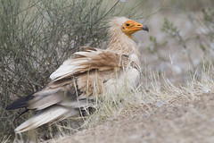 CAPOVACCAIO (ric.artur) Tags: animali ali avvoltoio capovaccaio nikon naturalmente natura