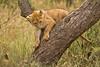 Lions of Maasai Kopjes 436 (Grete Howard) Tags: bestsafarioperator bestsafaricompany africa africansafari africanbush africananimals whichsafaricompany whichsafarioperator tanzania serengeti animals animalsofafrica animalphotos lions lioncubs maasaikopjes kopjes kopje