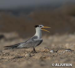 _DX29684 (ALJUFAIN KUWAITI) Tags: kuwait aljufain birds beach birdsreserve kobar