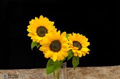 185-365 (andanzasderuthie) Tags: 365project2017 amapolas sunflowers flowers blackbackground indoor yellow
