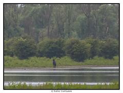 oostvaardersplassen-ncn-106 (voorhammr) Tags: 2017 ganzen groep hert ncn oostvaardersplassen zwaan zwaluwen