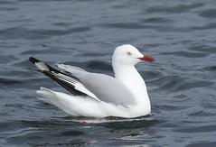 silver gull narrabeen D500 300PF_DSC7232 (neilfif11) Tags: nikond500 nikon3004afsvrlens sydney silvergull