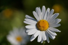 Smile to the world... (janrs7) Tags: smile ☺ flower wildflower nature summerfeelings summer july tamron70300mm oxeyedaisy daisy white petals smoothbokeh bokeh flora prestekrage