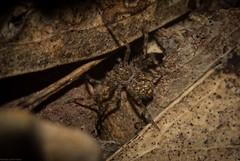 little huntsman (dustaway) Tags: arthropoda arachnida araneae araneomorphae sparassidae genus huntsman juvenile australianspiders clagirabaforestreserve coomeravalley sequeensland queensland australia nature natur