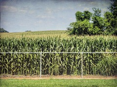 Children of the Corn Fenced In (clarkcg photography) Tags: corn tall green ears earsofcorn shucks field crop farm 8footfence chainlink barbedwiretop childrenofthecorn fencedfriday