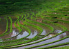 The terraced rice fields, Bali island, Jatiluwih, Indonesia (Eric Lafforgue) Tags: agricultural agriculture asia asian bali2022 balinese breathtaking countryside crops cultivated culture farming farmland fields green growing horizontal indonesia indonesian irrigation landscape lush nature nopeople outdoors paddies reflection ricefields ricepaddies riceterraces rural scenery scenic subak terracefarming terraced terraces terracing unescoworldheritagesite verdant village water jatiluwih baliisland