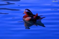 Blu mandarina... (michelecipriotti) Tags: bologna emiliaromagna parco lago anatramandarina colori azzurro natura riflessi
