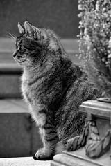 Cimetière Montmartre 11 03 2017_09 (Partibul) Tags: paris partibul cimetière montmartre chat