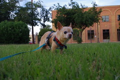 Floyd in the park (EllenJo) Tags: pentaxk1 june6 2017 ellenjo clarkdale arizona az verdevalley floyd chihuahua grass park clarkdalepark dogwalk dog pet olddog bornin2003