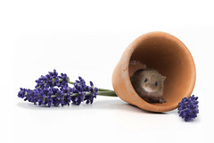 Temporary accommodation (hehaden) Tags: rodent mouse harvestmouse micromysminutus flowerpot lavender whitebackground captivelight bournemouth sonya77mkii macro