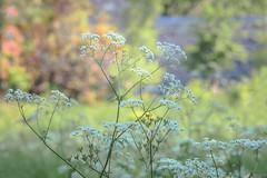 champs fleuris (cébé céline) Tags: saison champs printemps légumes branches sentier fleurs profondeurdechamps nikond7200 ombelles bokeh cerfeuilsauvage cerfeuildesbois anthriscussylvestrisombelle