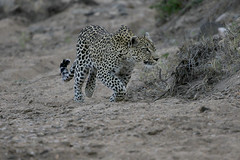 Hunting leopard (crafty1tutu (Ann)) Tags: travel holiday 2016 southafrica motswariprivategamereserve africa african animal leopard safari wild inthewild free roamingfree crafty1tutu canon7dmkii ef100400mmf4556lisiiusm anncameron carnivore naturethroughthelens naturescarousel coth