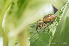 Yellow Jumping Spider (strjustin) Tags: jumpingspider spider arachnid insect bug beautiful macro
