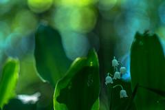 RUGIADA (Lace1952) Tags: fiore mughetto foglie controluce effetto rugiada bokeh bolle panasoniclumix pancolar