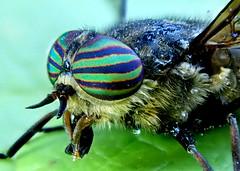 Horse Fly Tabaninae (Bugldy99) Tags: fly diptera insect insecta animal arthropod arthropoda hexapod hexapoda nature outdoors hugeeyes eyes