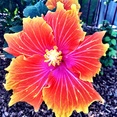 Crazy hibiscus. South West Rocks.