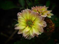 Dalia (Luicabe) Tags: airelibre cabello dalia enazamorado exterior flor luicabe luis naturaleza pétalo planta yarat1 zamora zoom ngc