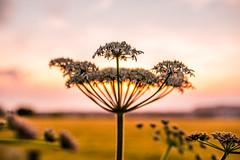 Summer nature (ola_er) Tags: nature sun sunset warm colours perspective nikon d750