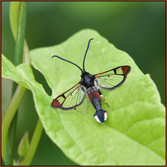 Red-tipped Clearwing (Full Moon Images) Tags: woodwalton fen greatfen bcn wildlife trust nnr national nature reserve insect macro natural england red tipped clearwing moth