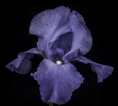 Purple Iris_1539A (Bill Gracey 21 Million Views) Tags: iris purple blackbackground offcameraflash yongnuorf603n yongnuo softbox fleur flower flor homestudio macrolens nature naturalbeauty textures shadows shapes shadowshapes tabletopphotography lakeside