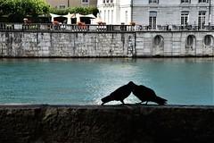 Pigeons 14.07 (5) (tabbynera) Tags: pigeons