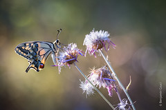 Beautiful (Benji Pictures) Tags: papillon butterfly machaon papilio macro macrophotography photoshoot wildlifephotography beautifullight light canon 70d 70200mm