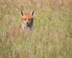 Focussed fox (kimbenson45) Tags: animal brown differentialfocus female field fox grasses green meadow nature outdoors shallowdepthoffield wildlife