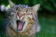 cat yawning (Role Bigler) Tags: canonfd1850mmsc dof sony animal bokeh bokehlicious cat catyawning f18 gizmo shallowdepthoffield sonyalpha6000 yawning