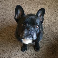 RAW File (Lainey1) Tags: raw oz ozzy dog frenchie bulldog lainey1 elainedudzinski frogdog zendog frenchbulldog ozzythefrenchie leica leicadlux4