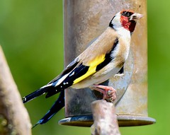 Goldfinch (sadlerphotography) Tags: birds gold goldfinch small feeder feeding wild wildlife nature zoom photography picture natural feathers colours nikon camera landscape view telephoto capture wings detail perched perch