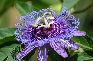 Gorgeous Passion Flower, Explored, best # 76 on June 26, 2017