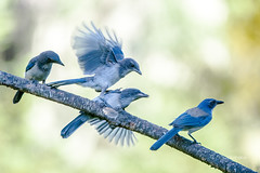 Scramble to Be Fed (Rick Derevan) Tags: jay scrubjay californiascrubjay california bird blue aphelocomacalifornica