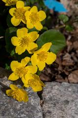 Rentukka / Marsh Marigold (Varjokuvia) Tags: calthapalustris marshmarigold ranunculales rentukka kingcup luhtarentukka